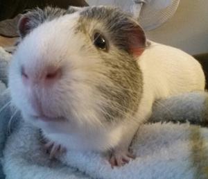 Cavy, our guinea pig